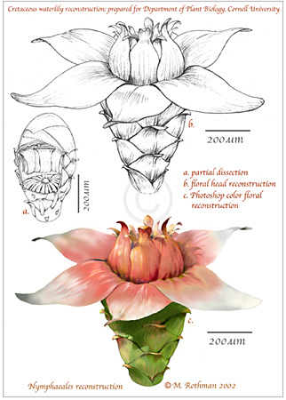 Fossil waterlily reconstruction