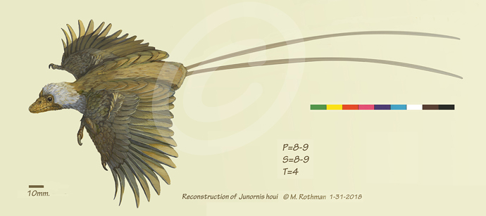 Reconstruction: Junornis houi mid-downstroke