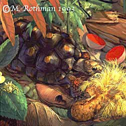 Red-footed Tortoise (French Guiana)