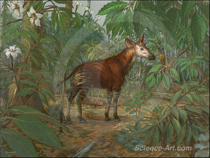 Okapi in the Ituri Forest DRG