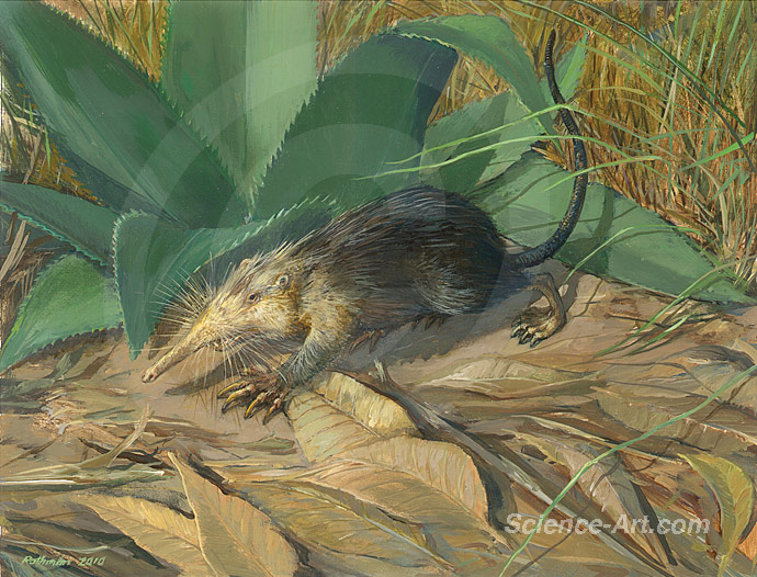 Cuban Solenodon in scrub forest