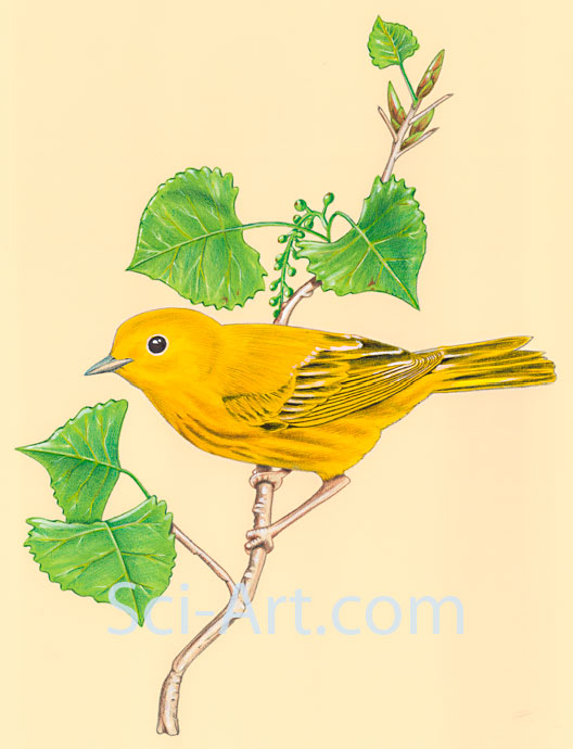 Yellow warbler on cottonwood branch