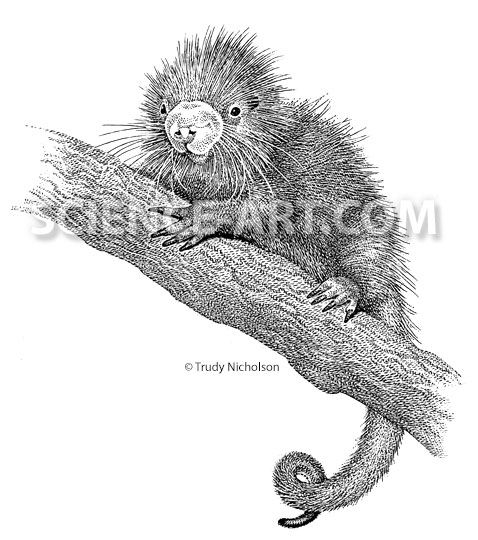 Infant Prehensile-tailed Porcupine