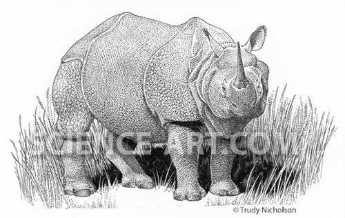 Great One-horned Rhinocerus