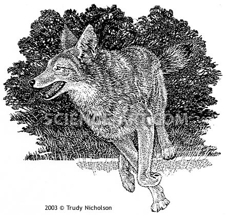 Running Coyote (<i>Canis latrans</i>)