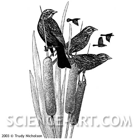 Red-winged Blackbirds on Cattails