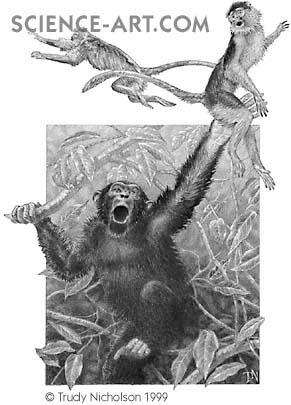 Chimpanzee Catching Red Colobus Monkey