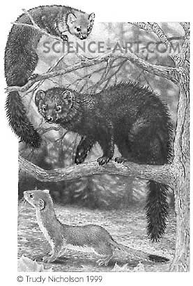 America Marten, Fisher and Long-tailed Weasel