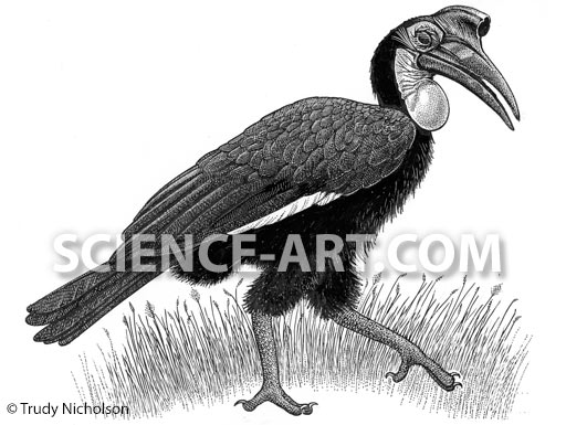 Abyssinian Ground Hornbill