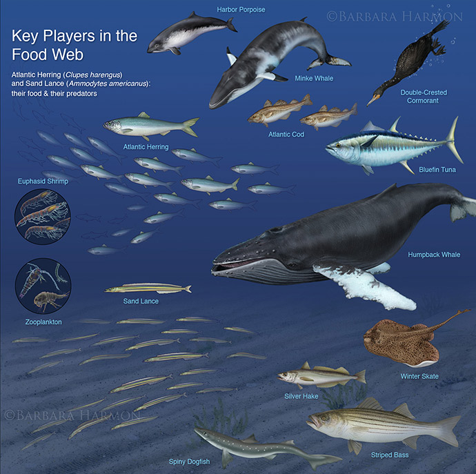 Key Players in the Ocean Food Web