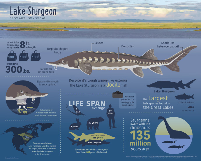 Lake Sturgeon Infographic