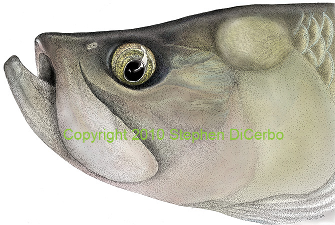 Tinted Tarpon Head Study