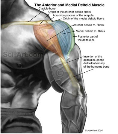 Anterior and Lateral Deltoid Muscle - Illustration@Science ...