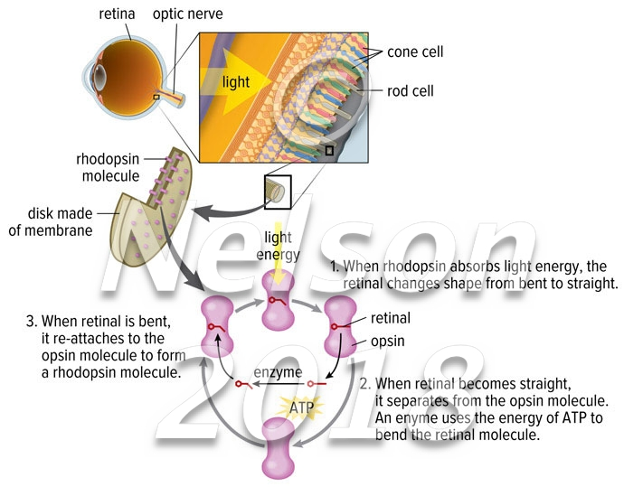 Retina: Conversion of Light to Energy