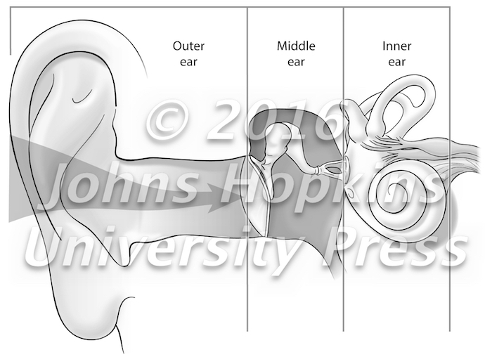 Three Parts of the Ear