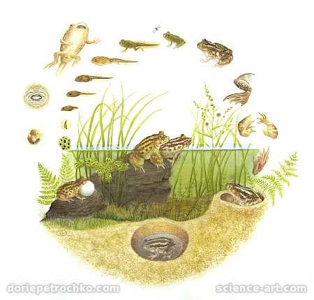 Life Cycle of the Spadefoot Toad