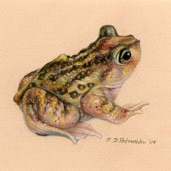 how to draw a spadefoot toad