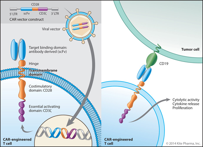 Engineered Autologous Cell Therapy (CAR)