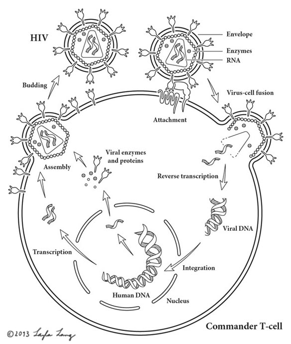 HIV Infection Cycle