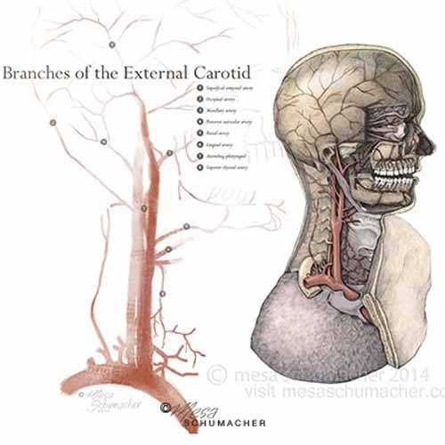 External carotid anatomy