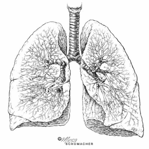 Lung anatomy - bronchi and bronchioles - Illustration@Science-Art.Com