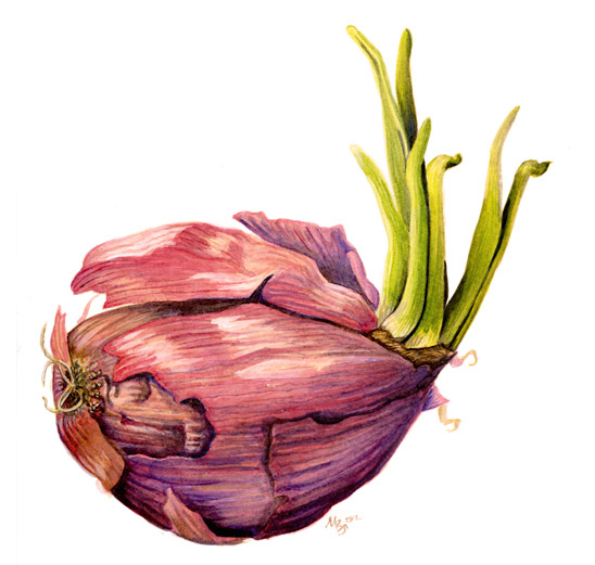Sprouting red onion botanical art