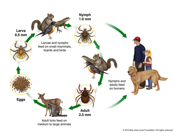 life cycle of a tick
