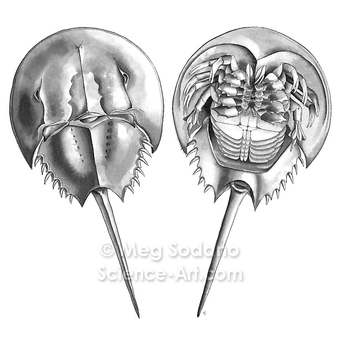Anatomy of a Horseshoe Crab - Illustration@Science-Art.Com