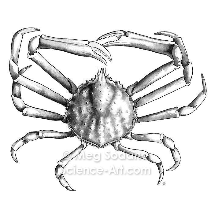 Anatomy Of A Common Spider Crab Illustrationscience Art