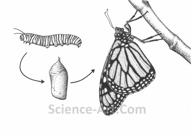 Monarch Lifecycle
