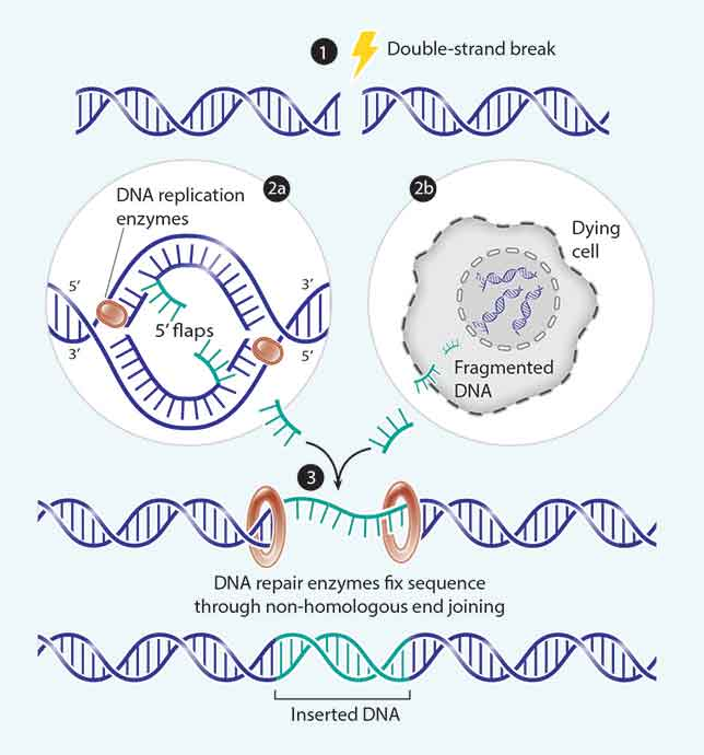 Two for DNA to repair a double-strand break