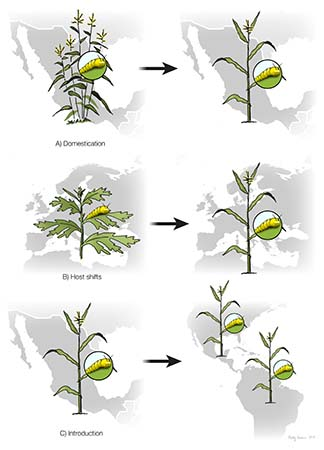 Maize/Teosinte Pest Distribution Strategies