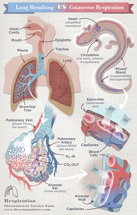 Lung Breathing vs. Cutaneous Respiration