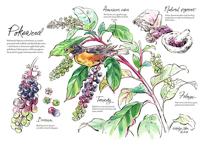 A Natural History of Pokeweed