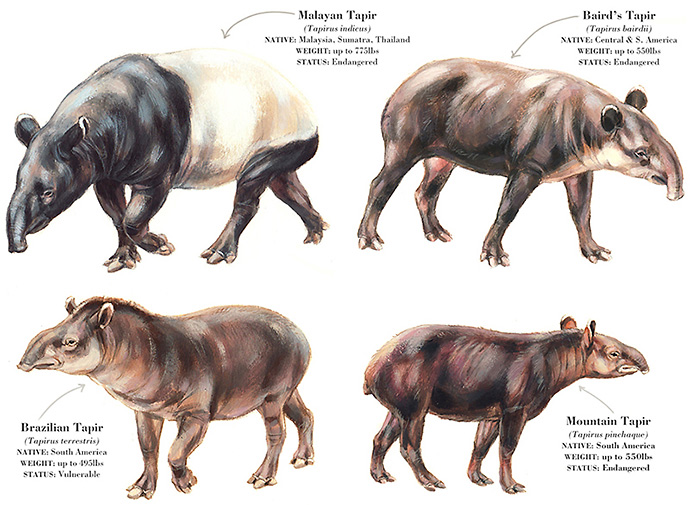 Living Tapirs of the World