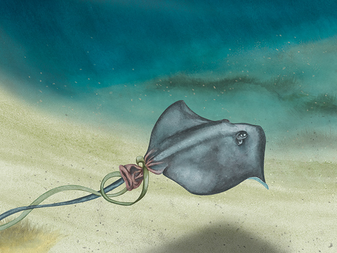 Southern Balloontailed Ray