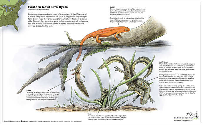 Eastern Newt Life Cycle