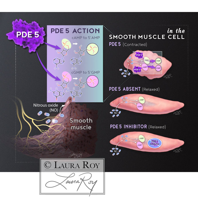 PDE5 Action on Smooth Muscle