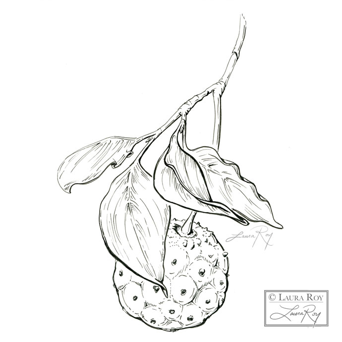 Dogwood Fruit Botanical Illustration