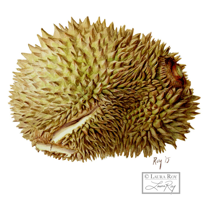 Aging Durian Fruit