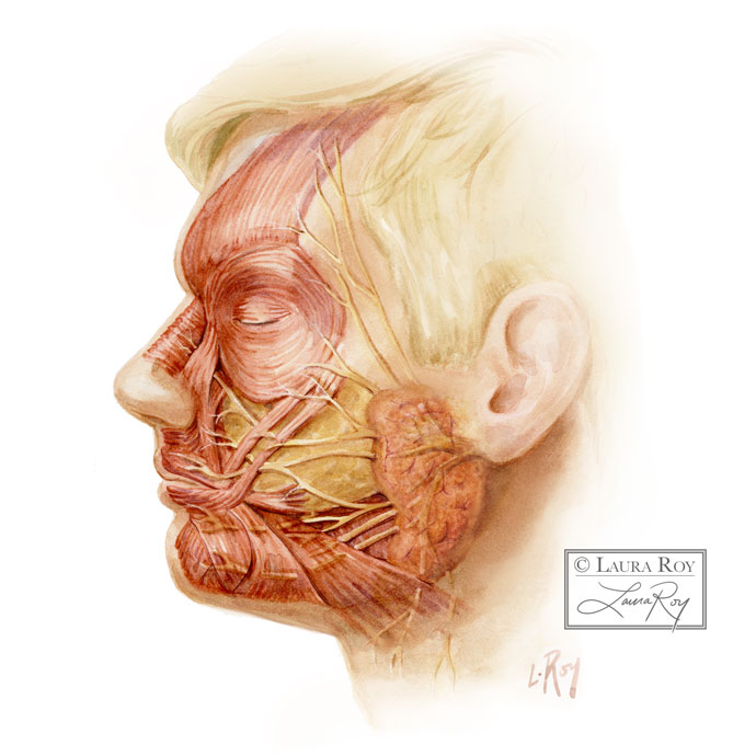 Human Facial Muscles and Nerves- Lateral View