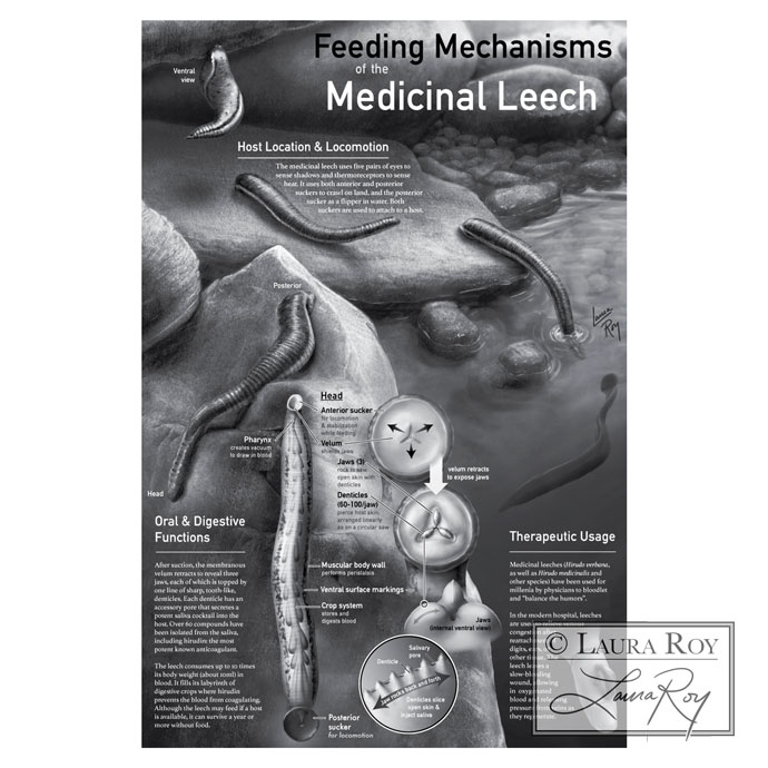 Feeding Mechanisms of the Medicinal Leech