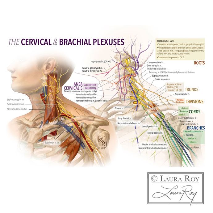 The Brachial and Cervical Plexuses