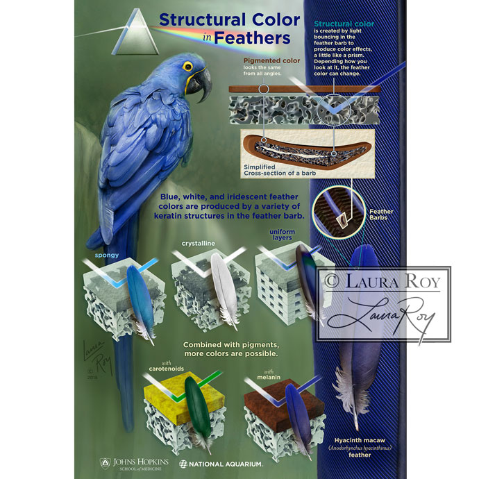 Structural Color in Feathers