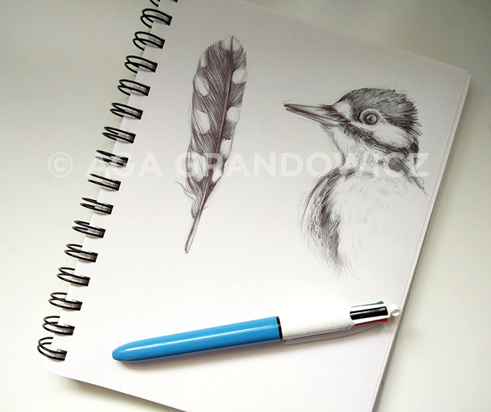 Great spotted woodpecker, sketch