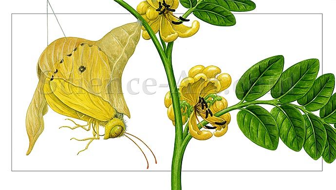 Cloudless Sulphur Butterfly Emerging