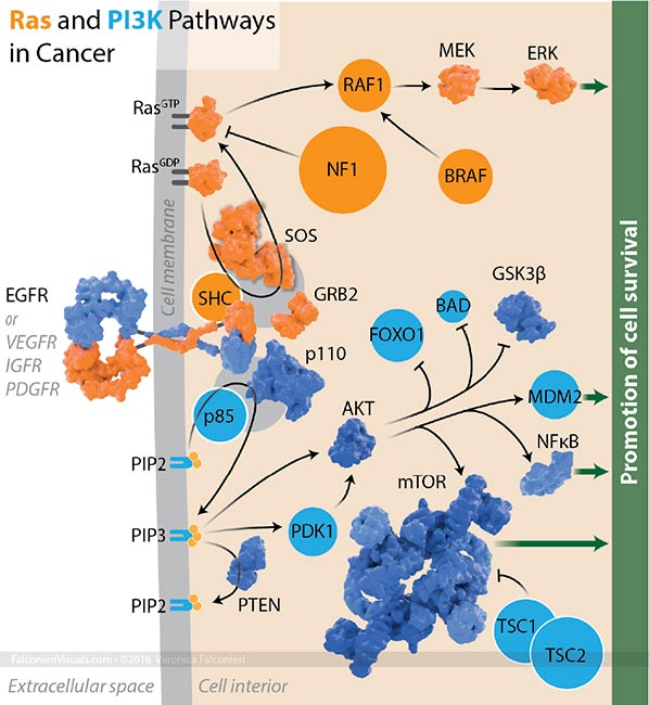 Cancer Signalling Pathways