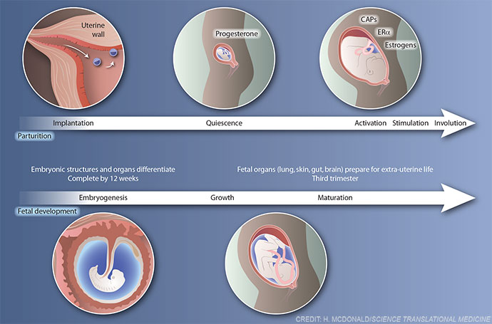 Stages of parturition and fetal development