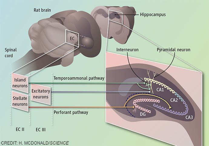 Island cell neurons and memory