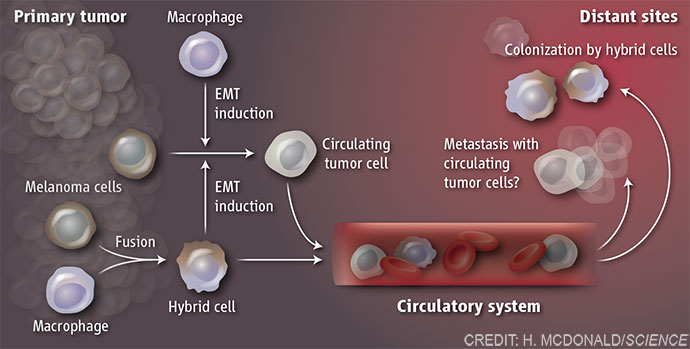 Role of tumor cell fusion in metastasis